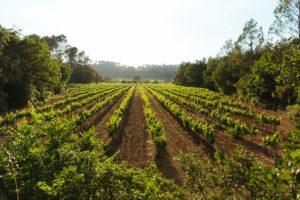 Vineyard at bastide Avellanne
